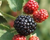 RUBUS 'OSAGE' BLACKBERRY FLORICANE THORNLESS ZONE 5