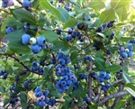 Blueberry Vaccinium 'Rebel' Southern Blueberry  Zone 7-10 Chill hours less than 400