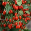 Goji Berry Lycium barbarum Shrub ZONE 5-9
