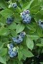 BLUEBERRY BLUE RIDGE  Southern Blueberry BLUEBERRIES Zone 3