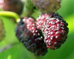 Morus nigra 'Dwarf Everbearing' Mulberry ZONE 4 Chill hrs 200