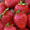 MONTEREY Strawberry Everbearing-Day Neutral.  U.C.  Fragaria x ananassa  Zone 4-8