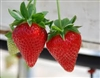SWEET SWEET ANN STRAWBERRY- EVERBEARING-DAY NEUTRAL LCN Fragaria x ananassa Zone 4-8 Recommended for Texas by Texas A & M