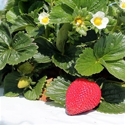 SAN ANDREAS EVERBEARING-DAY NEUTRAL   Fragaria x ananassa  Zone 4-7