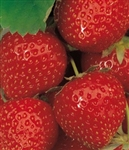 STELLA STRAWBERRY- LCN STRAWBERRY- JUNE BEARING  Fragaria x ananassa  Zone 4-8