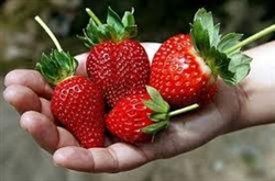 CAMAROSA STRAWBERRY- LCN STRAWBERRY- JUNE BEARING  Fragaria x ananassa  Zone 4-8