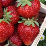 Chandler Strawberry Plants- Fragaria x ananassa June Bearing Zone 4-9