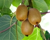 Actinidia chinensis 'Vincent'-Fuzzy Kiwi Female  Zone 7-9  Chill: 200hrs