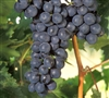 FREDONIA Vitis labrusca  BUNCH GRAPE VINE  BLACK SEEDLESS Zone 4