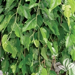 FRUITlLESS MULBERRY MORUS ALBA  ZONE 4
