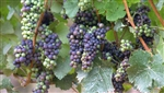 Grape Vine Pinot Noir Grape-dark blue grape-distinctive fragrance Zone 6