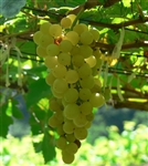 CHENIN BLANC-Pineau de la Loire white grape Zone 7