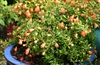 DWARF POMEGRANATE-'Punica granatum Nana'  Zone 9+