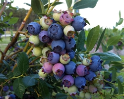 BLUEBERRY VACCINIUM 'STAR'-Southern HighBush Blueberry--Zone 8-10  CHILL: 300-400 HRS