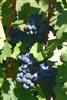 CABERNET FRANC BLACK WINE GRAPE Zone 7