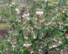 VACCINIUM 'VERNON'-Rabbiteye Blueberry-Zone:7-10