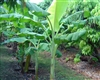 Musa 'Dwarf Orinoco'-Good producer wind and cold tolerant Zone 7b