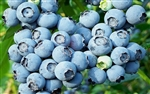 Blueberry Powder Blue Rabbiteye Blueberry-Vaccinium ashei 'Powder Blue' 6-10' Zone 6b