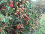 RUBUS VON BLACKBERRY FLORICANE THORNLESS ZONE 5