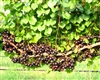 Muscadine Vitus 'DELICIOUS' Muscadine  Large Black Fruit Zone 7