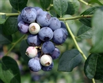 Blueberry Vaccinium Sharpe Blue-EARLY Season Southern Blueberry Zone: 7 CHILL: 150 HRS