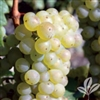 SCUPPERNONG MUSCADINE VINE Self Fertile Greenish or Bronze Large Grape