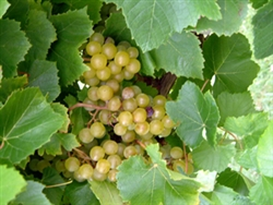 GRAPE VINE BLANC DU BOIS BUNCH GRAPE-White Grape Zone 6