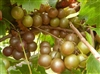 Muscadine Vitus 'HIGGINS' Muscadine Reddish Bronze Fruit Zone 7