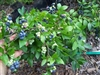 Blueberry Vaccinium 'DWARF NORTHSKY' Northern Blueberry  Zone 3-8 Chill hours 800+