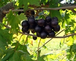Muscadine Vitus 'NOBLE' Muscadine  Large Red Fruit Zone 7