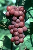 Vanessa Seedless Bunch Grape Vine-Vitis vinifera  Zone 5