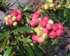 BLUEBERRY RABBITEYE BLUEBERRY VACCINIUM 'PINK LEMONADE'  Zone 5