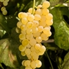 Himrod Seedless White Table Grape Vine- Vitis labrusca. Zone 5