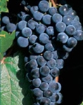 MARQUETTE-Dark Red Wine grape ultra cold weather tolerant Zone: 3