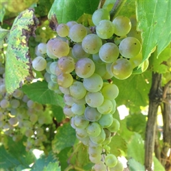 FRONTENAC BLANC-YELLOW TO GOLD WHITE WINE GRAPE-Ultra cold weather vine Z-3