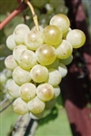 BRIANNA-WHITE TABLE OR WINE GRAPE VINE-Ultra cold weather vine Z-4