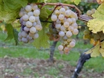 Grape Vine RIESLING GERMAN GRAPE VINE Zone 5