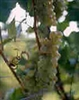 PRAIRIE STAR-White Wine Grape ultra cold weather tolerant Zone: 3