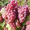 SOMERSET SEEDLESS-RED Table Grape ultra cold weather tolerant Zone: 3