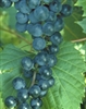 BLUEBELL-Blue-Black Table Grape ultra cold weather tolerant Zone: 3