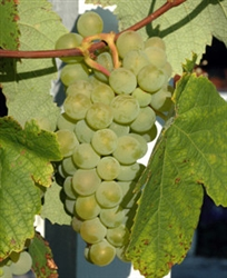 Grape Vine SAUVIGNON BLANC FRENCH GRAPE VINE  Zone 6
