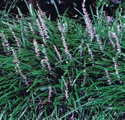 BIG BLUE LILYTURF-Liriope muscari 'Big Blue'Grass Zone:  5