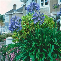 AGAPANTHUS AFRICAN BLUE--LILY OF THE NILE BLUE FLOWERS ZONE 7