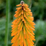KNIPHOFIA-MANGO POPSICLE-SHORT GRASSY FOLIAGE WITH SPIKES OF SWEET MANGO-ORANGE BLOOMS SUMMER TO FALL FULL SUN ZONES 6-9