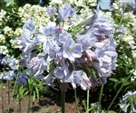 AGAPANTHUS AFRICAN SKY BLUE--SUMMER SKIES LIGHT BLUE FLOWERS ZONE 5