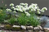 AGAPANTHUS GETTY WHITE--LILY OF THE NILE WHITE FLOWERS ZONE 8B