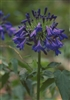 AGAPANTHUS AFRICAN BLUE--STORM CLOUD BLUE FLOWERS ZONE 7