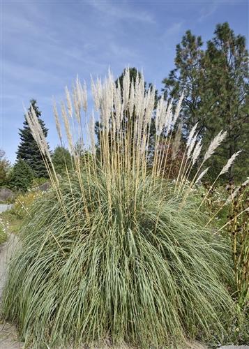 Hardy Pampas Grass Erianthus Ravennae Zone 4