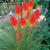 KNIPHOFIA-PAPAYA POPSICLE-SHORT GRASSY FOLIAGE WITH REDDISH ORANGE TO GOLD SPIKES OF  BLOOMS SUMMER TO FALL FULL SUN ZONES 6-9