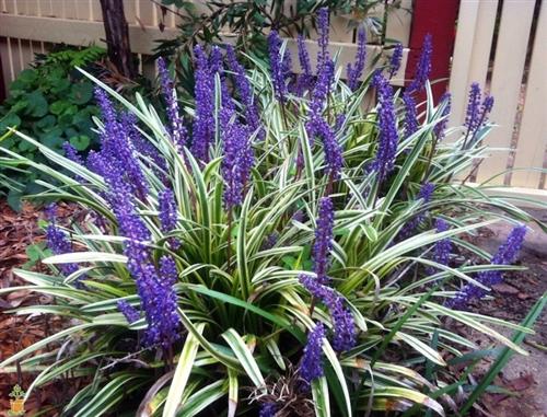 Variegated Leriope Lilyturf Liriope Muscari Variegata Zone